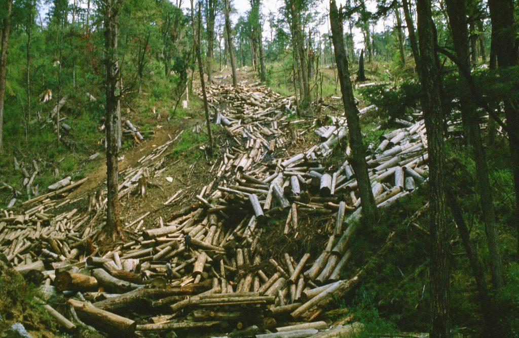 Schadholzbringung abgestorbener Fichten und Kiefern durch Befall des Borkenkäfers