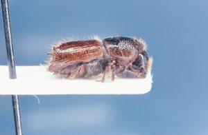 Ips Schmutzenhoferi, eight-spined Himalaya spruce bark beetle